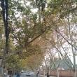 すっかり秋深しな上海で、正直気温も肌寒い #上海 #散歩