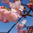 勝島運河の河津桜 2