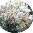 12月10日(日) ウォーキング等 《クロガネモチ、センダン、水鳥、バラ、紅葉、山茶花、葉牡丹》