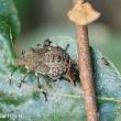 ツノアオカメムシ(幼虫)