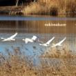 白鳥走る 3