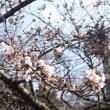 上野公園で桜が開花