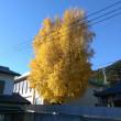 近所のいちょうの木