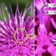 ノアザミの花の工夫