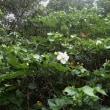 花は咲き始めたものの・・・  カバイロオオアカキリバ