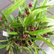 原種マキシラリア赤花 Maxillaria variabilis (red)