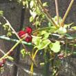 震災から7年 アケビの花が咲いた