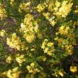 黄色い花はゴールデンクラッカー
