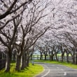 「桜咲く」と「桜散る」言葉の意味は正反対だけど、実際の桜で見ると美しくて大好きな私はひねくれもの @桜の前撮りで思うこと