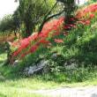山から下りると・・・そこは彼岸花の咲く里だった