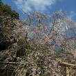 今年の曹源寺のしだれ桜はサッパリだよ。