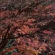 「しんがり紅葉」 いわき 夏井川渓谷にて撮影!