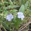藍の花が綺麗