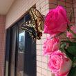 薔薇の花に蝶々