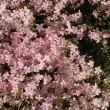 #5782 芝桜