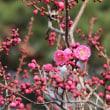 """五稜郭公園の""""梅の花""""咲き出す..."""
