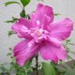 八重咲きムクゲ -   自宅