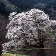 今年は、駒つなぎの桜 水を張り良いフォトが撮れそうです