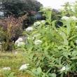 シモツケ 下野 白花