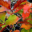 木楢(こなら)の紅葉