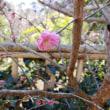 1月21日 梅の花