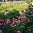 薔薇園のちびっこモトクロス
