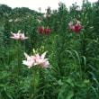 初夏の百合を楽しむ「可睡ゆりの園」(静岡県袋井市)