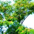 合歓木(ねむのき)の咲くころ そして 明後日の日曜は「昼酒宵酒の日」