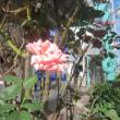 エポラ通りのバラ 2018秋
