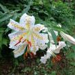 最近の健康管理のこと・烏ヶ森公園のユリの花