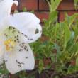 百合の花と蟻