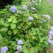 紫陽花の道