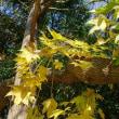 日曜散歩:ムクノキとハリギリ、木の繁殖性はすごいと思う