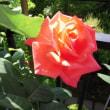 陽光に透かす花弁果肉彩