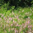 ノビタキのこども、ピンクの花のなか