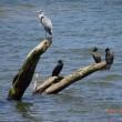 青鷺も川鵜も並ぶ
