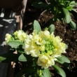ストック八重と一重の花