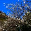 『1月の梅』 高来神社