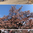 新宿御苑で梅と桜を見た後はシェーキーズでピザの食べ放題!