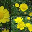 ムルチコーレの花は