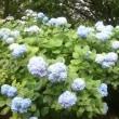 雨の紫陽花旅情?