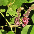 クズの花と実