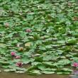 スイレンの咲く池