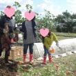 畑、さつま芋の収穫