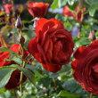 Rose, oh reiner Widerspruch, Lust, Niemandes Schlaf zu sein unter soviel Lidern.