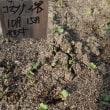 17年10月20日 野菜の発芽