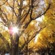 #5545 神宮外苑いちょう並木