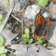 ベニシジミ(紅小灰蝶)