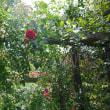 バラとハーブ園 その11