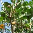 木斛の実と山法師の実と